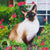 art print of a siamese cat on a balcony of flowers