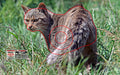 Group 1 - Feral Cat Quartering Away Target - Australian Feral Set - Set of 5