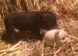 Mini Pig, British Columbia, Mini potbelly pig, micro pig, tiny pig, pet pig, best pet,