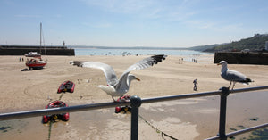 Seagulls St Ives Cornwall