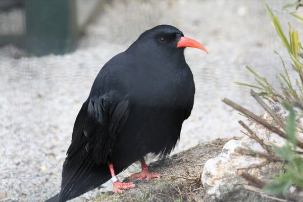 Paradise Park Cornish Chough
