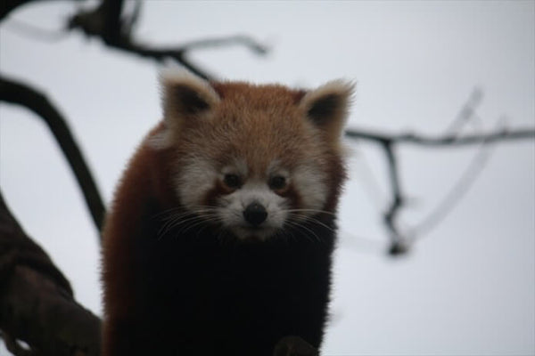 Paradise Park Red Panda Close Up