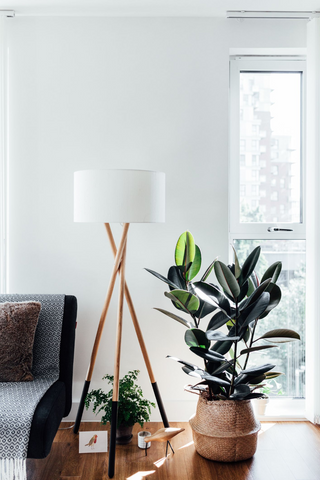 Neutral modern home decor with rubber plant as the low maintenance plant.