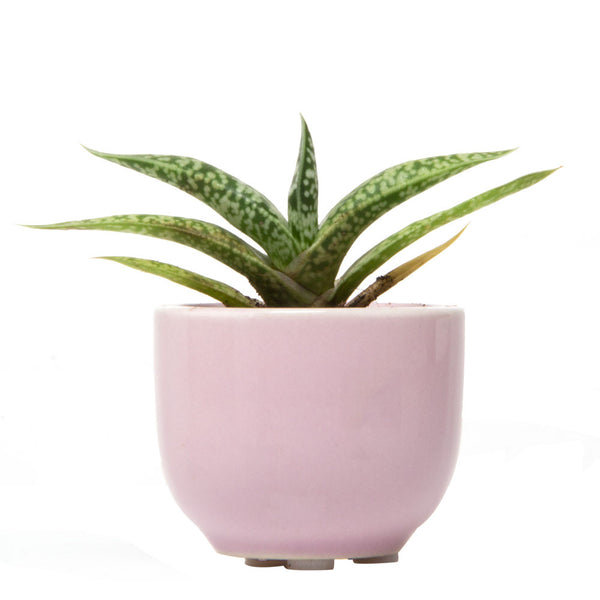 Pink succulent cup