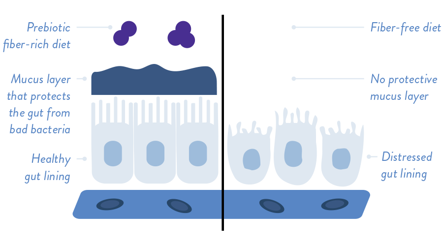 Illustration of healthy gut lining with muscus layer that protects the gut from bad bacteria when someone eats a prebiotic fiber-rich diet vs. an distressed gut lining with no protective mucus layer because of a fiber-free diet.