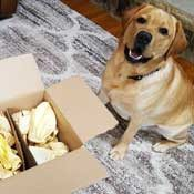 Lab pup patiently posing with her box of Cow Ears