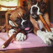 Two Boxer siblings sharing their Straight Bully Sticks
