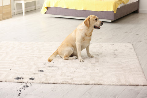 photo of a golden retriever puppy tracking mud across an area rug.
