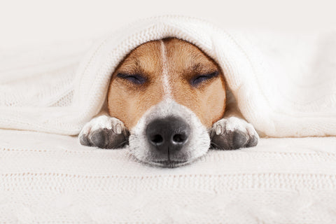 photo of a dog sleeping beneath a blanket.