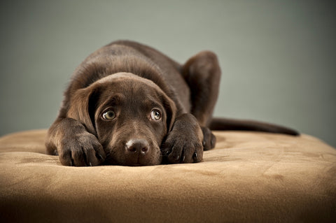 photo of a chocolate lab puppy laying down.