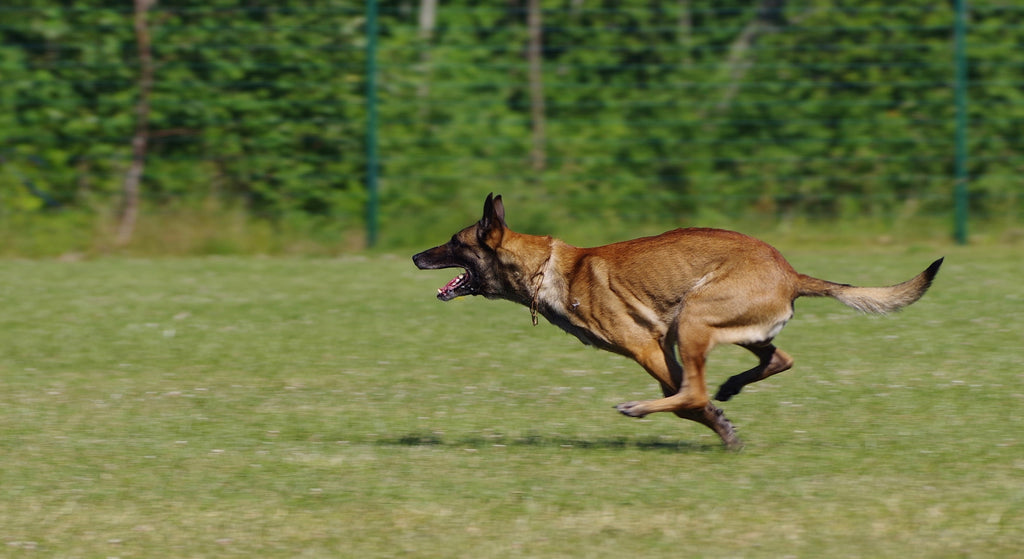 10 Active Dog Breeds