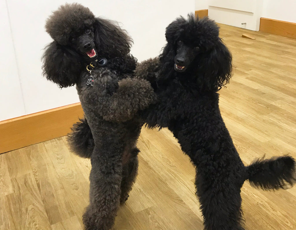 Two Talented Toy Poodles