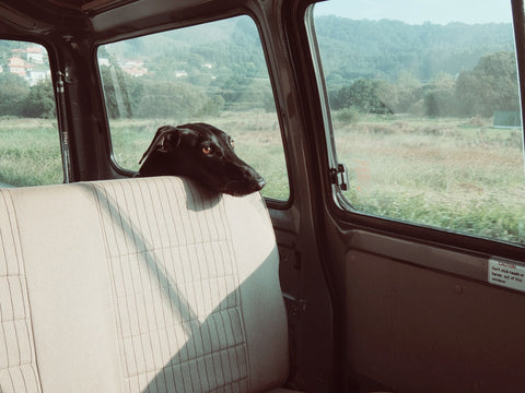 dog in a hot car
