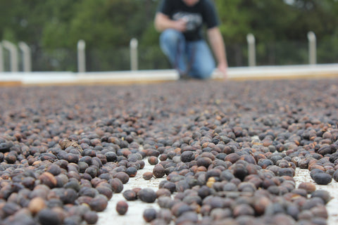 Fresh Coffee - Dry Process