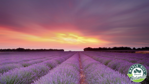 Lavender Essential Oil: A Tried and True Go To