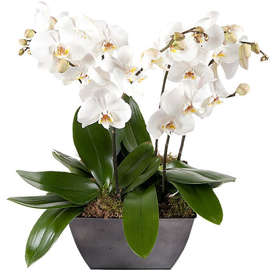 Premium Orchid - The Shop Flowers