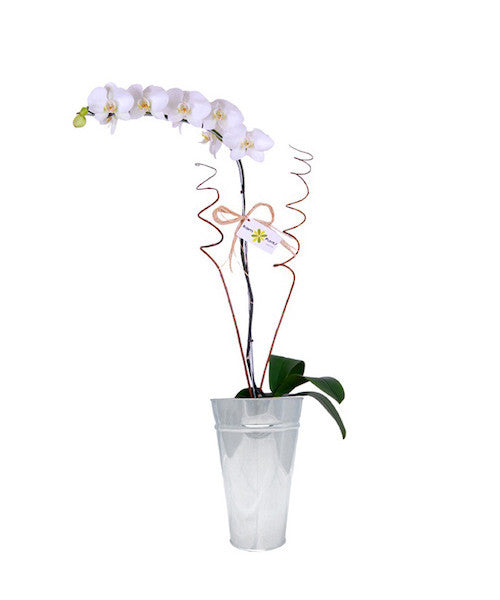 Phalaenopsis Orchid - The Shop Flowers