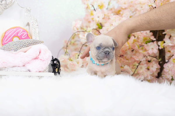 (contact for pricing) Mini French bulldogs