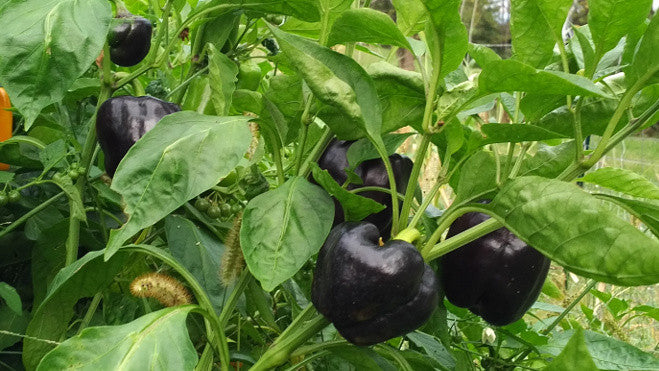 high phytonutrient peppers