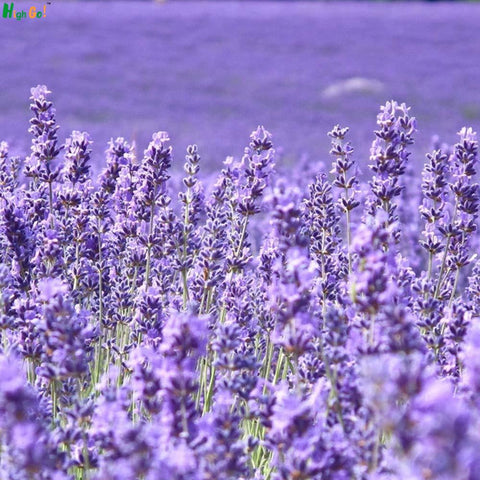 French Provence Lavender Seeds Very Fragrant