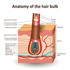 Anatomy of the Hair Bulb