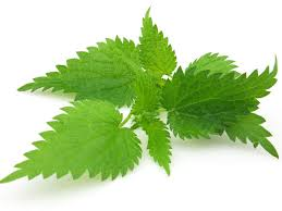 Health benefits of Stinging Nettle