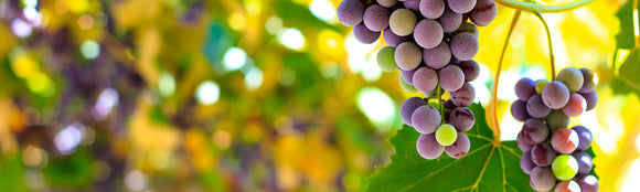 Best Grapes for Wines in UK