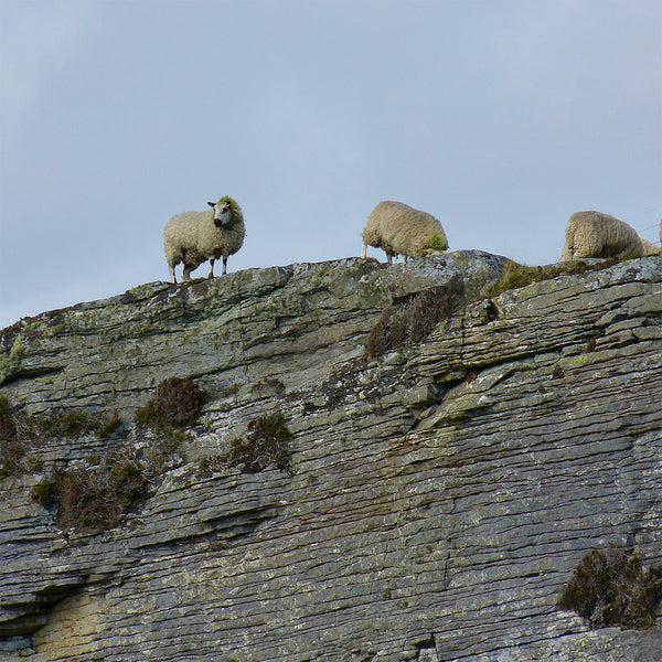 Crazy cliff-top sheep grazing precariously on the Isle of Skye