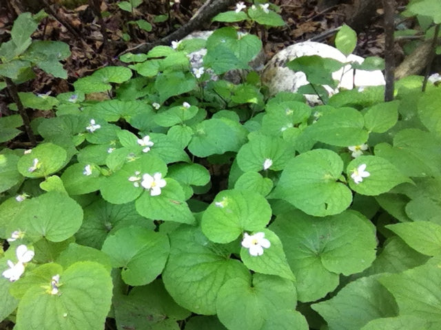 Edible and Medicinal Plant Walk - June 27