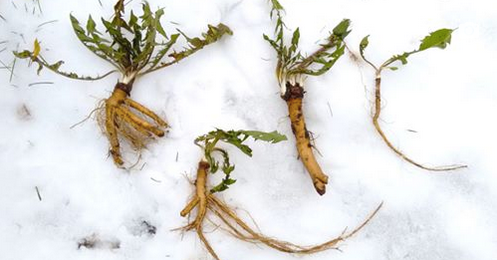 Wild Winter Plants for Optimal Digestion - February 20th