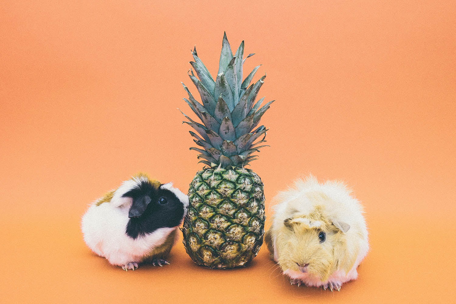 A pineapple standing up in between a white and black guinea pig and a tan colored guinea pig.