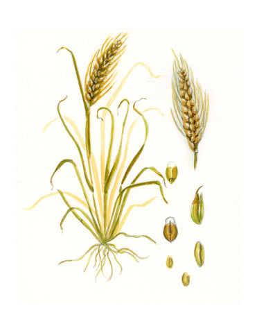 Wheat | botanical art print | Beverly Gurganus Fine Art