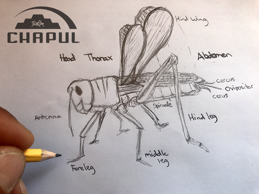 Anatomy Of A Cricket Chapul