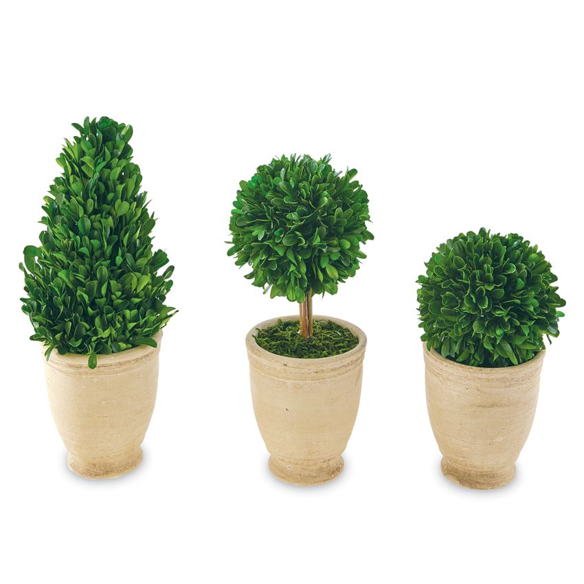 Round large boxwood topiary
