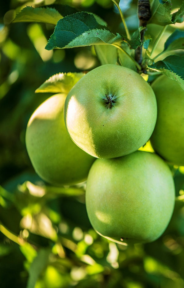 Granny Smith Apples Jackson Orchards - New Zealand Orchard