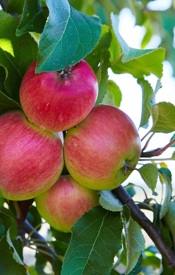Koru Apples Jackson Orchards - New Zealand Orchard