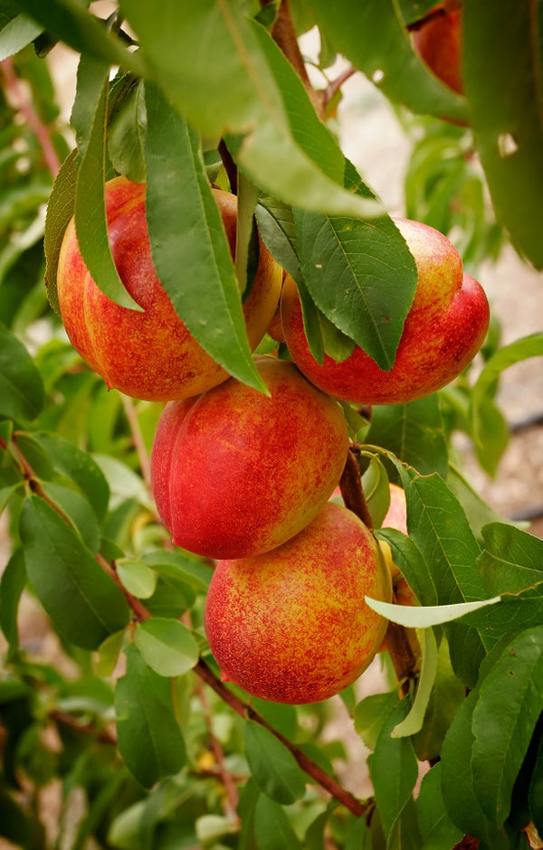 Orion Nectarines Jackson Orchards - New Zealand Orchard