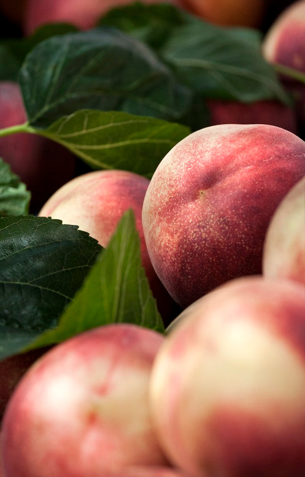 White Lady Peaches - Jackson Orchards