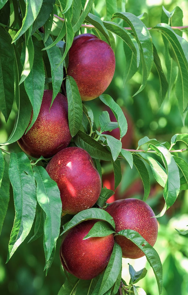Grand Candy Nectarines Jackson Orchards - New Zealand Orchard