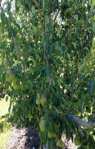 Pears Jackson Orchards - New Zealand Orchard