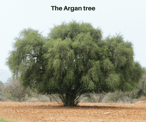 The Argan tree - Akhal Beauty
