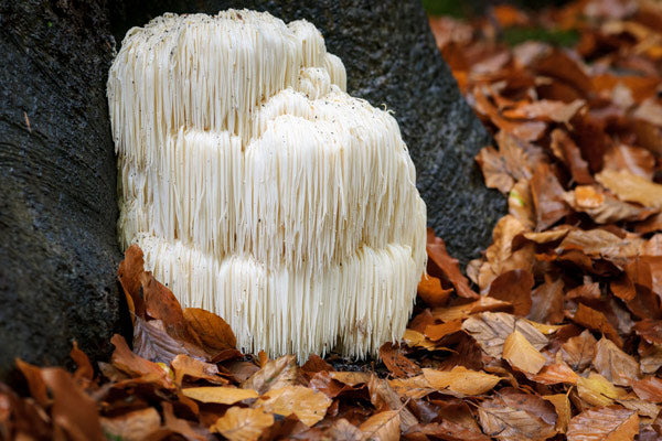 Teelixir blog article Outlining the Many Lion's Mane Mushroom Benefits explained