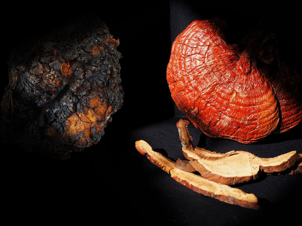 Chaga vs Reishi Mushroom: Understanding the Differences Teelixir article organic Reishi and Chaga medicinal mushroom available to buy now online