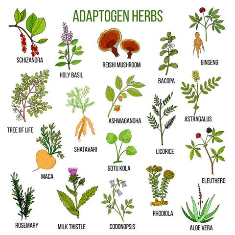 What are Examples of Adaptogens?