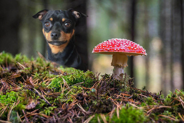 What are toxic mushrooms for dogs?