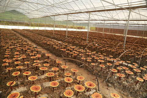 Best High Quality Wild Cultivated Reishi Mushroom Extracts