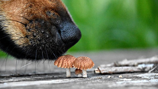 Frequently asked question can dogs eat mushrooms