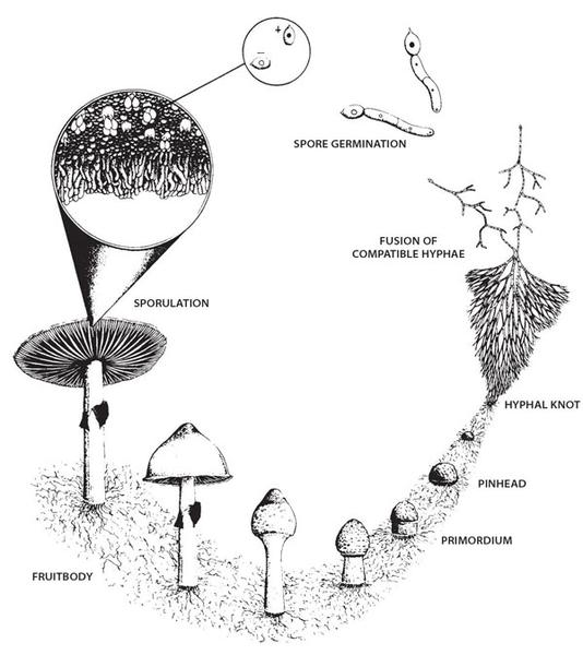 Summing Up the life cycle of a mushroom explained
