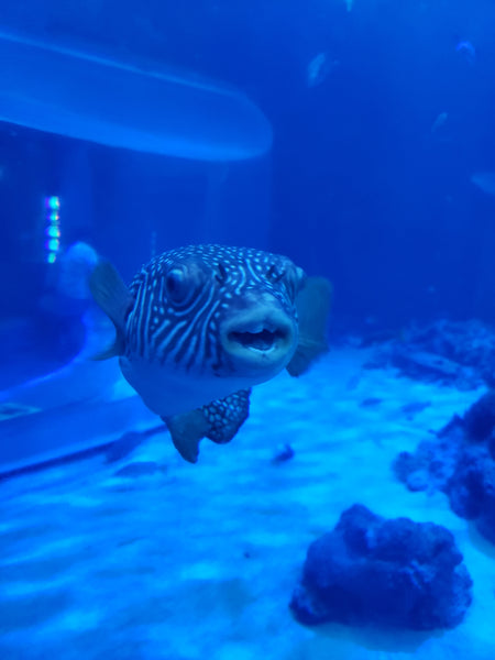 Puffer fish in a tank at the Okinawa aquarium