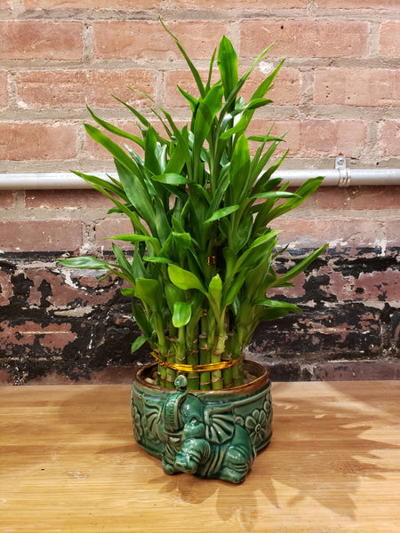 3-Tier Bamboo in Elephant Pot